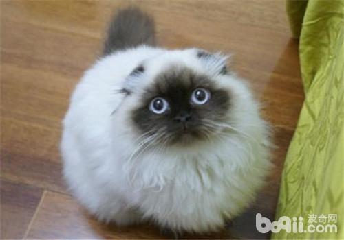 猫咪胃炎的治疗原则-猫咪常见病